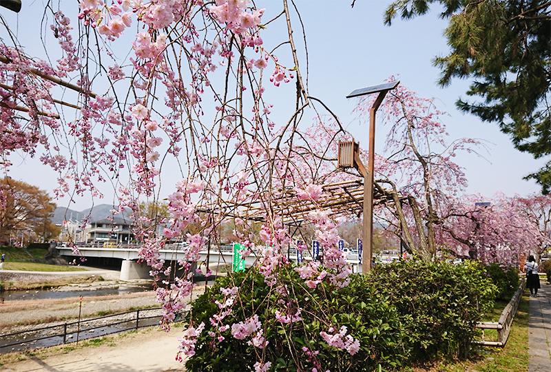 半木の道 桜棚